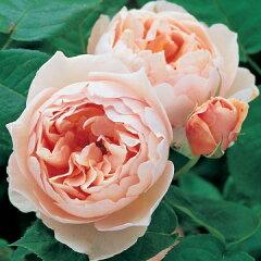 【バラ苗 イングリッシュローズ】ザ シェパーデス(二年生国産大苗)7号鉢植え
