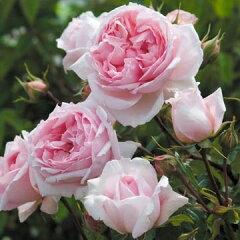 【バラ苗 イングリッシュローズ】ザ・ウェッジウッド・ローズ(二年生大苗)7号鉢植え《2009年...