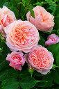 【バラ苗 イングリッシュローズ】ウィリアム モーリス(二年生大苗予約)7号鉢植え イングリ...