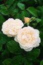 【バラ苗 イングリッシュローズ】ウインチェスター・キャシドラル(大苗)7号鉢植え イングリ...