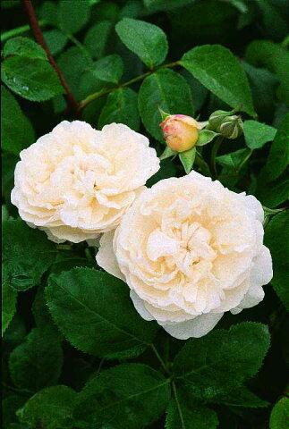 ウインチェスター・キャシドラル(大苗)7号鉢植え イングリッシュローズ(デビッド・オースチンローズ) バラ苗