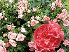 【バラ苗 フロリバンダローズ】ギィ・ドゥ・モーパッサン(二年生国産大苗)7号鉢植え  四季...