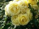 【バラ苗 フロリバンダローズ】ゴールデンボーダー(二年生国産大苗予約)7号鉢植え バラ苗 ...