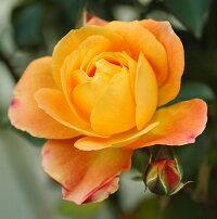 スブニール・ドゥ・アンネフランク(大苗)7号鉢植え四季咲き中輪房咲き系(フロリバンダローズ)スプレー咲きバラ苗