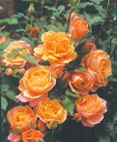 ディズニーランドローズ(大苗)7号鉢植え  四季咲き中輪房咲