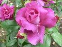 【バラ苗 フロリバンダローズ】イントゥリーグ(春の新苗)7号鉢植え