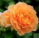万葉(大苗)7号鉢植え  四季咲き中輪房咲き系(フロリバンダローズ)スプレー咲き バラ苗