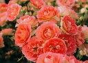 【バラ苗 フロリバンダローズ】るる(二年生国産大苗予約)7号鉢植え