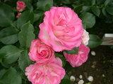 ストロベリーアイス(大苗予約)7号鉢植え  四季咲き中輪房咲き系(フロリバンダローズ)スプレー咲き バラ苗