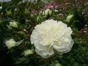 【バラ苗 修景バラ】アルバメイディランド(二年生国産大苗予約)7号鉢植え