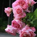 モニーク・ヴイグ(大苗)7号鉢植え 四季咲き ギヨー社・フランス GUILLOT バラ苗