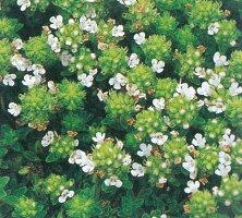 クリーピングタイム(白花)ハーブ苗グランドカバー