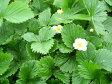 ワイルドストロベリー(赤実) ハーブ苗