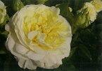 快挙(大苗)7号鉢植え  四季咲き大輪系(ハイブリッドティーローズ) バラ苗