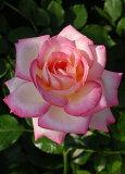 カルフォルニア・ドリーミング(大苗)7号鉢植え  四季咲き大輪系(ハイブリッドティーローズ) バラ苗