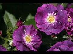 【バラ苗 ハイブリッドティーローズ】ラプソディー イン ブルー(春の新苗)7号鉢植え