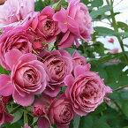 あおい(大苗)7号鉢植え 四季咲き中輪房咲き系 F&Gローズ フローリスト&ガーデナーズローズ