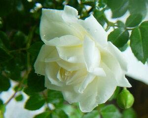 【バラ苗 オールドローズ(ランブラーローズ)】アルベリック・バルビエ(大苗予約)7号鉢植え...