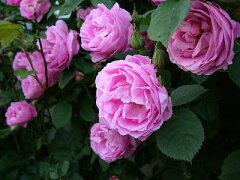 【バラ苗 オールドローズ(ブルボンローズ)】ブルボンクイーン(二年生国産大苗)7号鉢植え ...