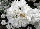 【バラ苗 つるバラ】群星(大苗予約)7号鉢植え つるバラ  オールドローズ(アンティークロ...