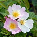 ドッグローズ(ロサ・カニナ)(大苗)7号鉢植え 一季咲き 半つる性 オールドローズ(アンティークローズ) バラ苗