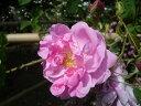 【バラ苗 オールドローズ(ダマスクローズ)】カザンリク(二年生国産大苗予約)7号鉢植え
