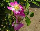 キュー・ランブラー(大苗) 7号鉢植え つるバラ  オールドローズ(アンティークローズ) バラ苗