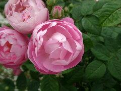 【バラ苗 オールドローズ(マクランサローズ)】ローブリッター(春の新苗)7号鉢植え