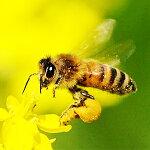 貴重な蜜を運ぶミツバチ