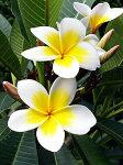 小笠原の花々
