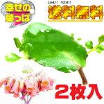 幸せの葉っぱマザーリーフ「ハカラメ」