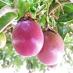 小笠原の果実の特産品といえばパッションフルーツ☆