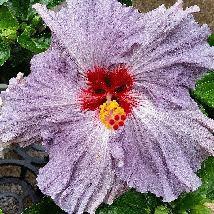 ハイビスカス デニムブルー 鉢植え 大輪種 青 紫 5号鉢 珍しい ハワイの花 夏の花 0525