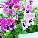 パンジー よく咲くスミレ ラズベリー 苗 3.5号 ピンク花