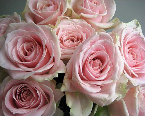 【楽天市場】バラピンク スイートアバランチェなど 5本 切花 生け花 花材:プリティ マーメイド
