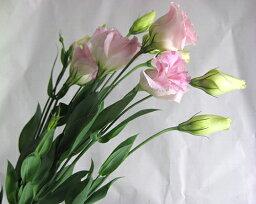 トルコヤエP&R(エクローサPフラッシュなど5本 切花 生け花 花材
