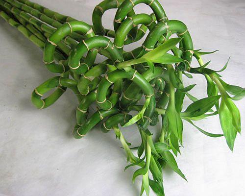 ドラセナルイ(スパイラルバンブーなど5本 切花 生け花 花材