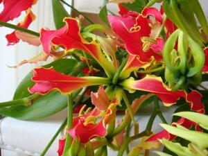 日本が誇る情熱の赤い花!受賞歴たくさんのお花です海外へも日本の高級花として人気があります...