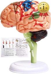 脳模型 日本語説明書付き 脳モデル 人体模型 学習 脳トレ 図鑑