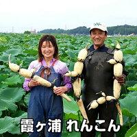 送料無料,霞ヶ浦れんこん2kg箱,有機質肥料にこだわって栽培,蓮根/レンコン
