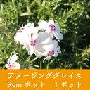 岡本緑花で買える「【芝桜】アメージンググレイス 9cmポット 1ポット 高品質 シバザクラ」の画像です。価格は100円になります。