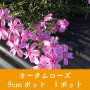 岡本緑花で買える「【芝桜】オータムローズ 9cmポット 1ポット 高品質 シバザクラ」の画像です。価格は100円になります。