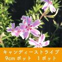 岡本緑花で買える「【芝桜】キャンディーストライプ 9cmポット 1ポット 高品質 シバザクラ」の画像です。価格は100円になります。