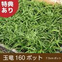 玉竜 160ポット 送料無料(関東・東海・関西・北陸)自家栽培 高品質 タマリュウ ポットタイプ