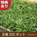 玉竜 200ポット 送料無料(関東・東海・関西・北陸)自家栽培 高品質 タマリュウ ポットタイプ