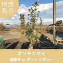 高品質 キンモクセイ 根巻きorポット 3ポットセット 樹高