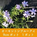 岡本緑花で買える「【芝桜】オーキントンブルーアイ 9cmポット 1ポット 高品質 シバザクラ」の画像です。価格は100円になります。