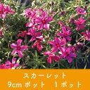 岡本緑花で買える「【芝桜】スカーレット 9cmポット 1ポット 高品質 シバザクラ」の画像です。価格は100円になります。