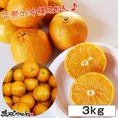 【送料無料】沖縄県産タンカン約3kg