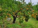 伊豆味/高良さんの有機肥料栽培タンカン 訳あり約5kg サイズバラバラ 見た目はイマイチですが、職人技にて最高の出来です!。発送1月15日頃予定。